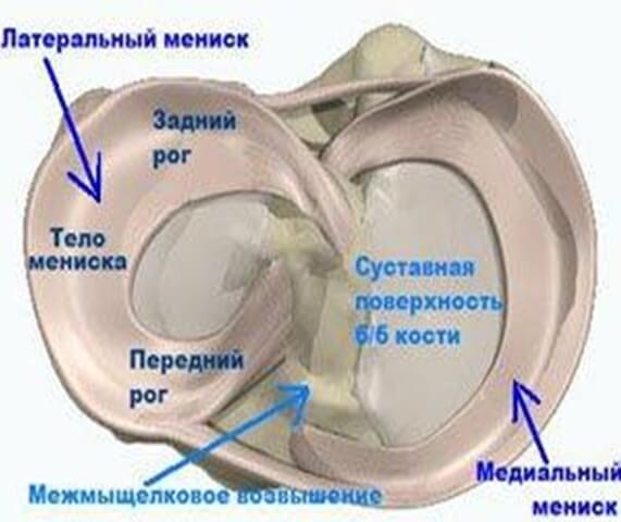 коленный сустав изнутри