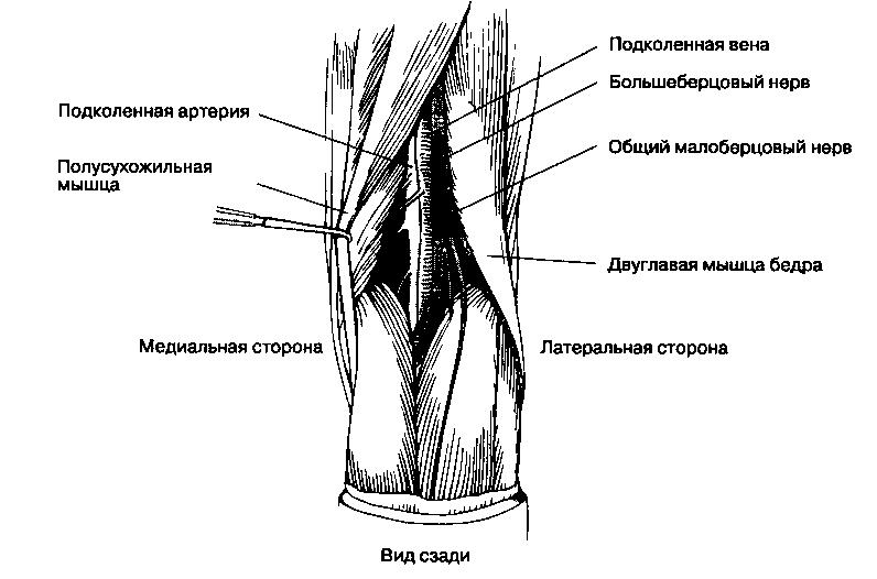 строение подколенной ямки