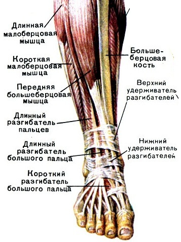 Строение голеностопного сустава и стопы диклозан-форте восстановление суставов цена
