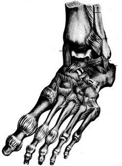 анатомия лодыжки