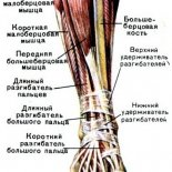 Строение и функции голеностопного сустава